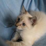 GIVENCHY - M -  Né le 25/05/2011 - Adopté en Septembre 2011